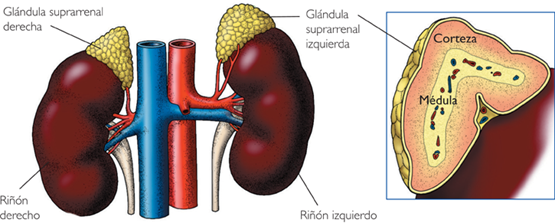 hiperplasia suprarenal: